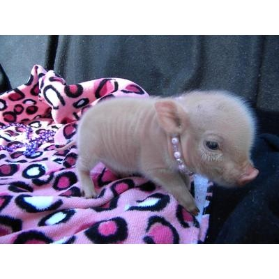 Oh Please Please tea cup piggies are so adorable I would love to own one!
