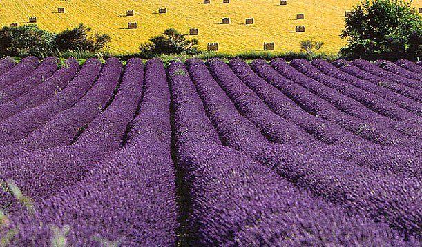 Lavender Field Gordes France