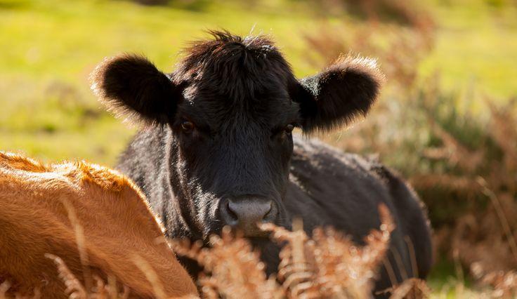 Calf chilling on Dartmoor