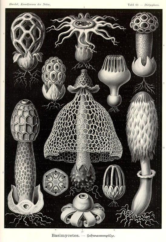 Ernst Haeckel, Kunstformen der Natur (1904), Tafel 63