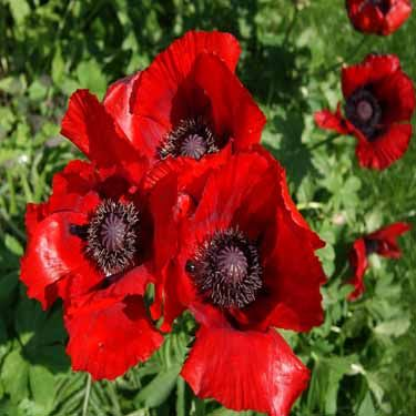 Papaver Orientale Beauty of Livermore