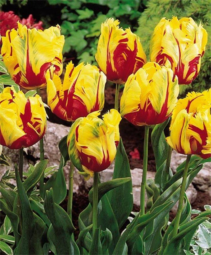 Tulipas-papagaio são extravagantes, com suas pétalas encaracoladas, retorcidas, e com franjas que lembram as penas coloridas do pássaro tropical de mesmo nome. No entanto, as suas papilas em forma de bico são as que lhes dão seu nome. Quase todas as variedades de tulipas-papagaio são vibrantemente coloridas, e muitas são de dois tons. Florescem em meados e final da temporada com hastes variando de 12 a 28 polegadas de altura. Suas flores enormes não suportam tempestades de vento ou chuva, e…