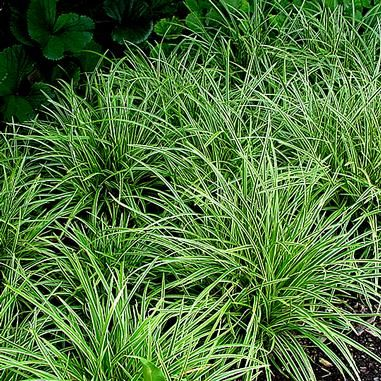 Carex morrowii 'Ice Dance' (Ice Dance Sedge   Versatile Sedge for sun or shade. Bright white variegation runs along leaf margin. Plant spreads by rhizomes and works well as a groundcover or specimen. Semi-evergreen; drought tolerant once established. Insignificant brown flower   Full to part shade   Height: 8-12 in   Width: 12-18 in   Soil Conditions: Moist/Well Drained   Flower Color: Brown   Bloom Time: May,June   Hardiness Zone: 5 TO 9   Midwest Groundcovers