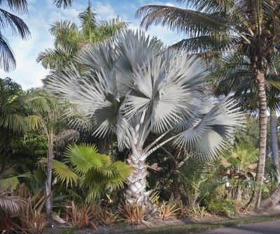 Bismarck Palm Care: Learn About Growing Bismarck Palms - Bismarck palm care is not difficult or time-consuming once the tree is established in an appropriate location. Look to this article for tips and information on how to grow and care for these palm trees. Click here to learn more.