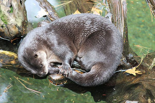 It's so comforting for otter to nap with his tail in his mouth - December 1, 2016