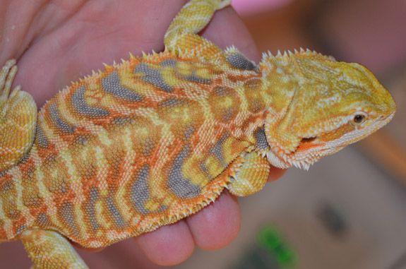 Stripes – Male Citrus/Tangerine Tiger Leatherback