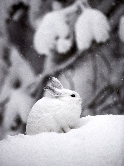 Winter: Snowshoe Hare by Michael S. Quinton, nationalgeographic #Winter #Snowshoe_Hare #Michael_S_Quinton #nationalgeographic