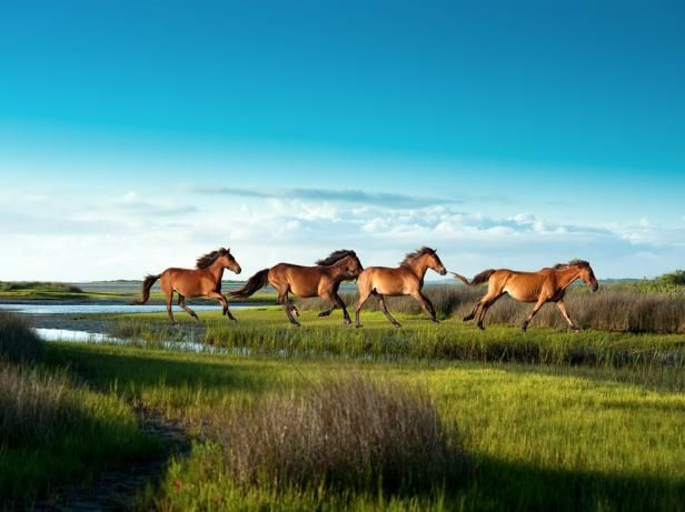 See wild horses on Shackleford Banks in North Carolina's Crystal Coast >>