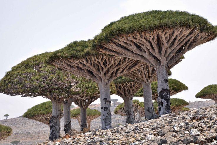 Drachenbäume auf Sokotra (Jemen). #Weltenbau #Worldbuilding #Inspiration (CC BY-SA 2.0) Rod Waddington/Flickr