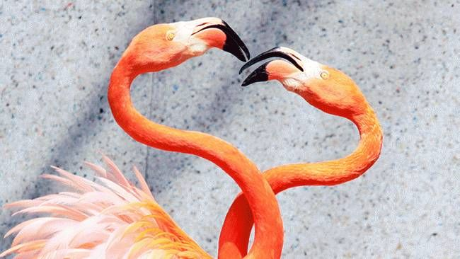 A pair of Caribbean flamingos extend their heads and necks in a heart shape as flamingos perform courtship dances at the Saitama Children's Zoo, north of Tokyo. (Yoshikazu Tsuno/AFP/Getty Images)