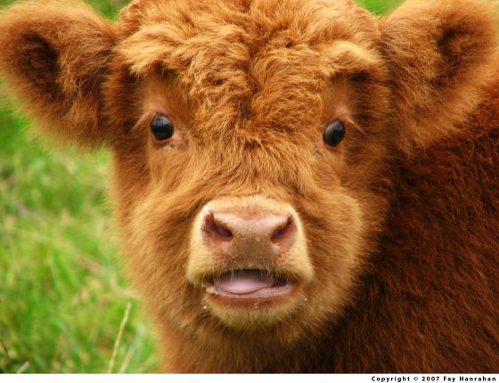 29 best images about Fluffy Cows! on Pinterest