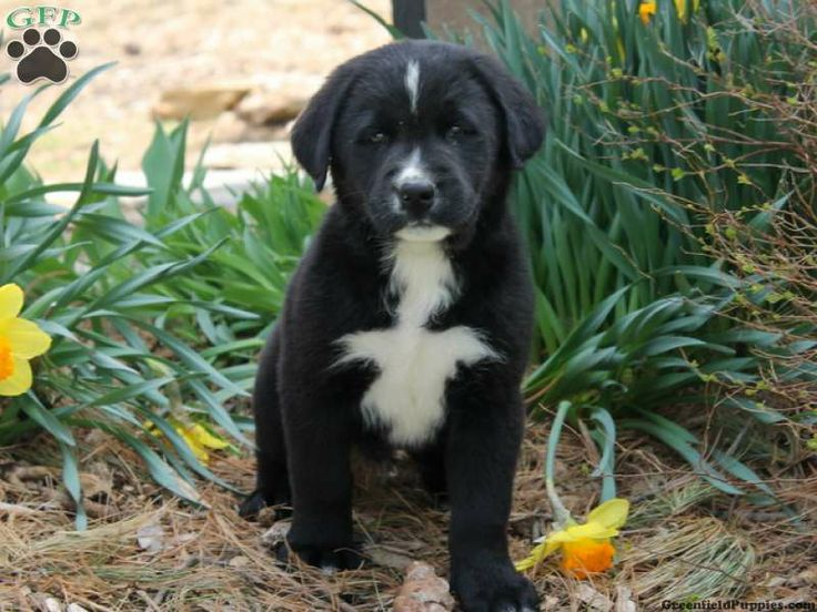 Aifric is a gorgeous Labernese puppy for sale from Holtwood, PA