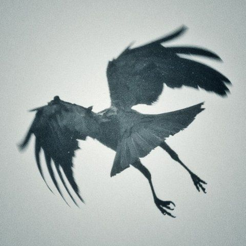 Something about this crow that is unique and mysterious, timeless. Where is she going? Where did she come from? (idea of crow flying INTO the body.)