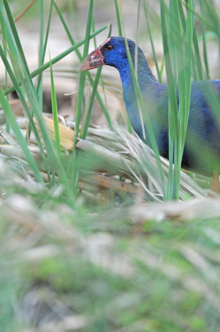 #guidofrilli nel Sinis di Riola - appostamento con capanno mimetico - Nikon D300 con Nikon 200/400 f/4 iso 200 - Esemplare n° 1