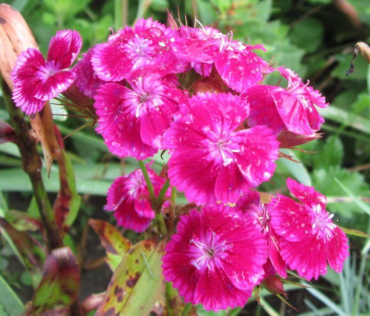 Турецкая гвоздика может культивироваться как однолетнее, двулетнее и многолетнее травянистое растение. Выращивают её в саду чаще как двулетник. В первый год после посева гвоздика турецкая образует только листовые розетки, а цвести начинает на второй год жизни. Цветёт это растение около 1,5 месяцев в июне-июле.