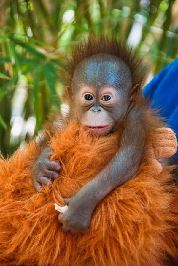 Baby Orangutans are in a great danger because of human expansion and illegal trade.  Find more about these intelligent primates at: http://impressivemagazine.com/2013/07/11/7-facts-about-baby-orangutans/ #babyorangutans