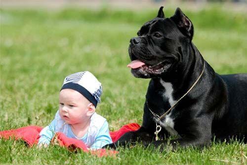 Cane Corso Guard Dog