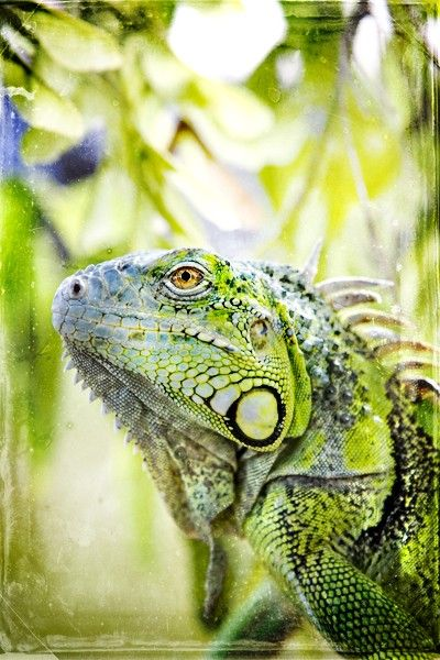 Green Iguana  vibrant green and yellow Iguana in a by janeheller, $35.00
