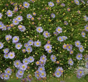 Nukenkaulus. Korkeus: 20 - 50 cm. Kukkii heinä-syyskuussa. Kasvupaikka aurinko. Yksivuotinen.