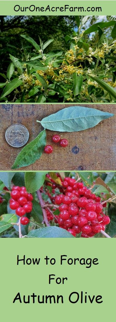 Autumn olive is an invasive shrub which produces an abundance of delicious berries. Turn a problem plant into a food resource! Learn where to find it, how to identify it, and how to harvest it.