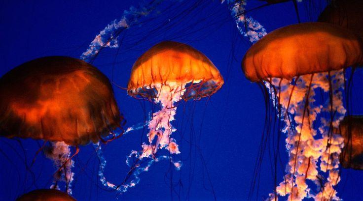 Medusas Chrysaora hysoscella.  Hábitat de la medusa aguamar Las medusas aguamar son organismos marinos que viven en aguas frías o templadas, entre cuatro y 28 grados Celsius, preferiblemente cercanas a regiones continentales.