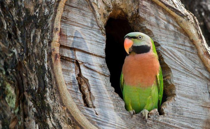 Cara Membedakan Betet Jantan Dan Betina Akurat Betet Burung Kakatua Betina