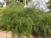 Výsledek obrázku pro chřest asparagus