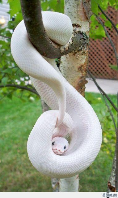albino snake - beautiful reptile!