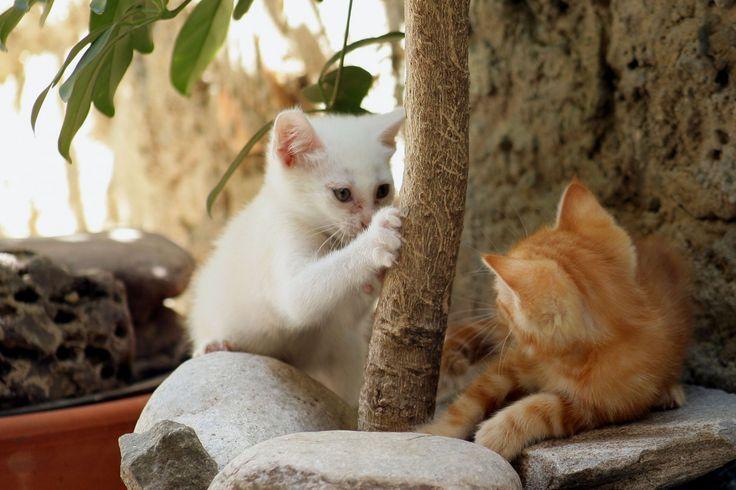 La période d'incubation la maladie des griffes du chat est d'une à deux semaines après la griffure. © Phovoir