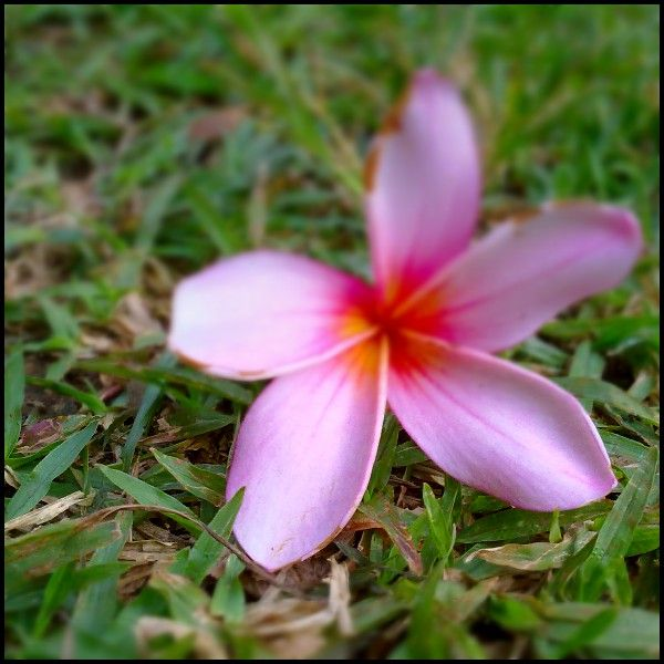 Pink flower capture phone,