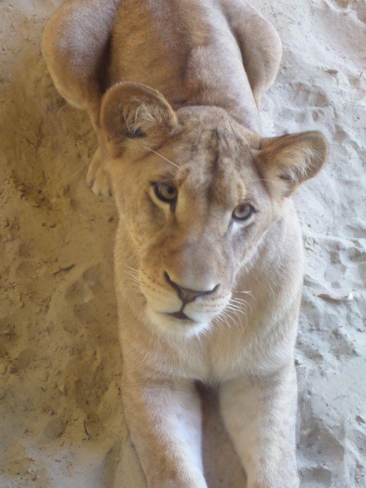 Leeuw in dierentuin Emmen