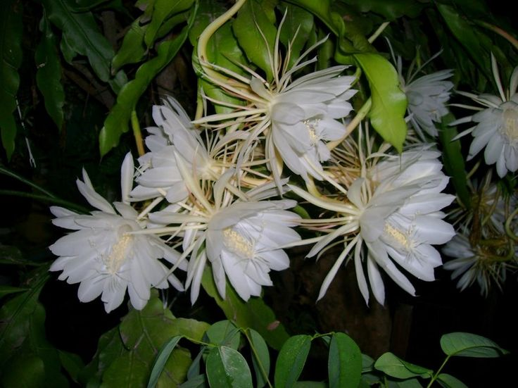 Dama de noche, la planta de aroma penetrante - http://www.jardineriaon.com/dama-de-noche-la-planta-de-aroma-penetrante.html