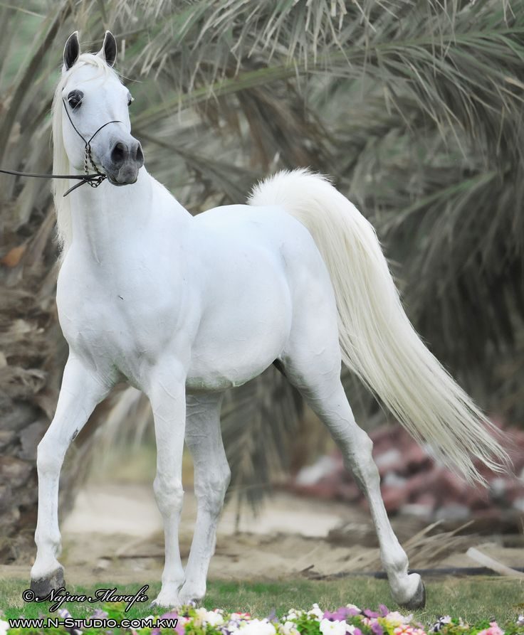 Beautiful white / grey Arabian horse | Animals | Pinterest ...