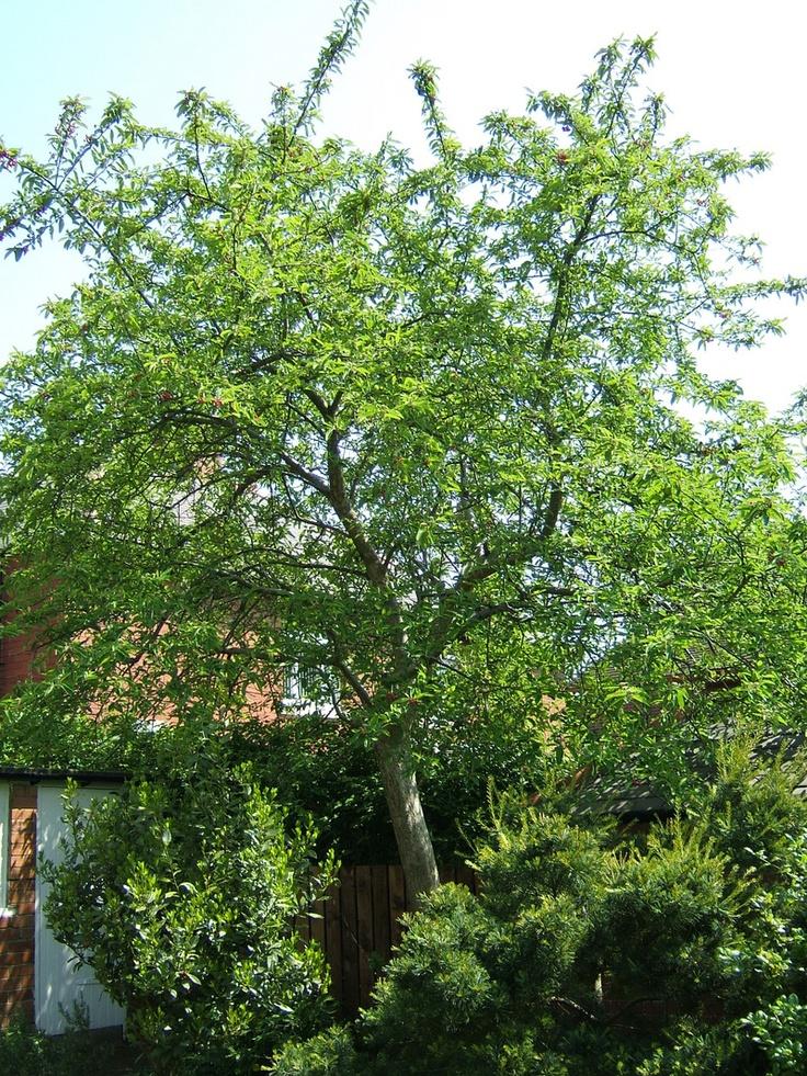 10 best cotoneaster cornubia images on pinterest