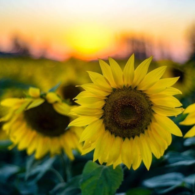 Happy #KansasDay! 🌻 We are proudly headquartered in Pittsburg, Kansas!  Did you know that Kansas is also known as the Sunflower State?