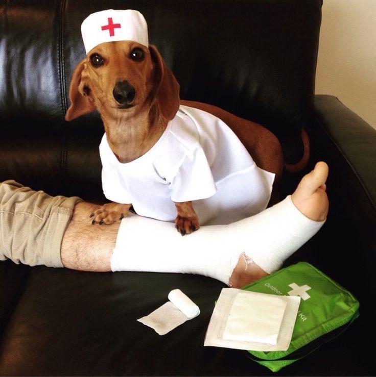 Doctor Dachshund preparing to operate