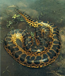 Anacondas live in South America, east of the Andes, mainly in the Amazon and…