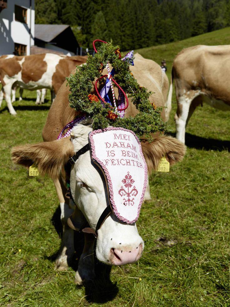"""Traditionell werden die Kranzrinder (die """"Leitkühe"""") in Kärnten nur dann geschmückt, wenn es ein gutes Almjahr, das heißt ein Almsommer ohne Unfälle, war."""