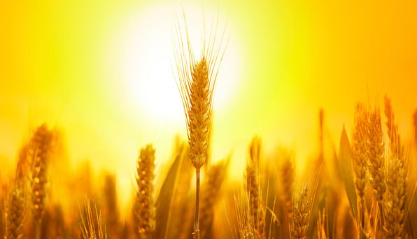 Getting ahead in bread Wheat is Australia's main winter crop. Sown in autumn and harvested in spring or summer, it provides us wit...