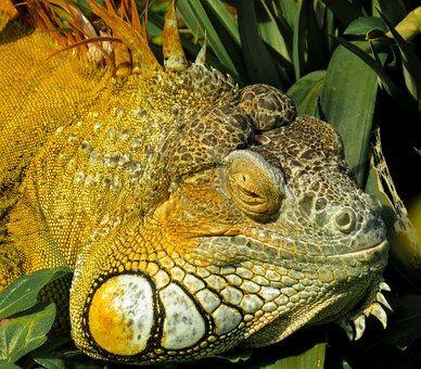 15 Best Iguanas Images On Pinterest