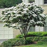 Dogwood, Kousa- Beautiful ornamental flowers that bloom after the leaves have come in. Edible sweet berries. Small tree, zone 4. Intermediate shade tolerance.