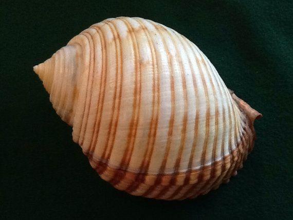 Paratype Sale - Tonna hawaiiensis VOS, 2007, NWHI  IIRH--Paratype 5, Seashell, Shell, Museum Quality Specimen