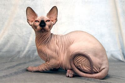 Sphynx, the most famous hairless cat breed in the world. Originating in Canada in 1966 when a single hairless kitten named Prune was born.