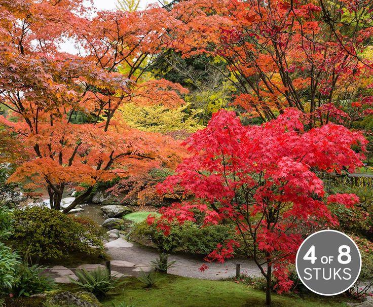 Set Van 4 Prachtig Kleurrijke Japanse Esdoorns!