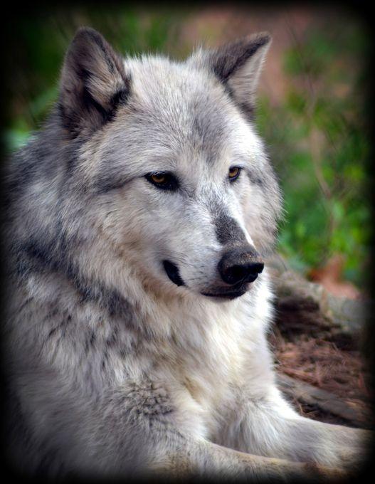 "Photo ""NorthCarolina-GrayWolf"" by WhiteOak56"