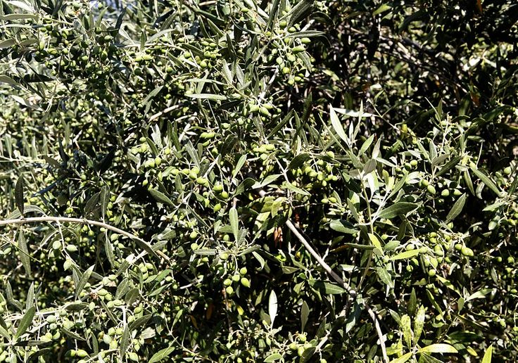 Join the olive harvest in Crete. http://www.handpickedgreece.com/join-the-olive-harvest-in-crete/#sthash.FCYdlEsv.qjtu