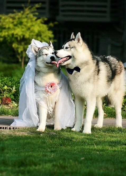 Animal Kisses: Funny Wedding Photos of Huskies Kingsir ♡ Nikita (-ˆ⌣ˆ(-ˆ⌣ˆ-)