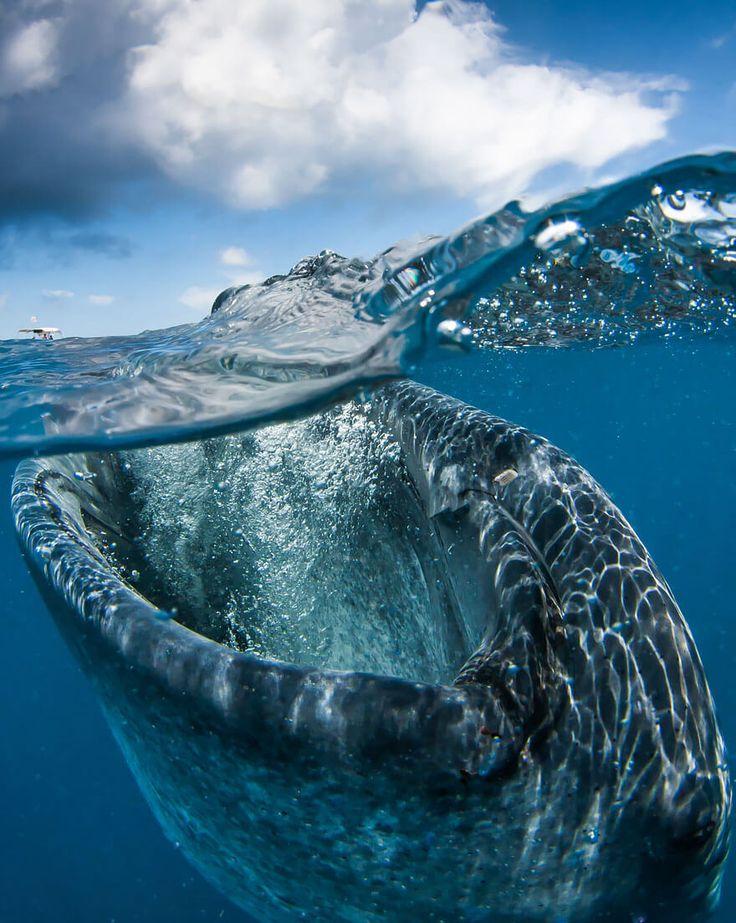 Requin baleine impressionnant