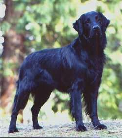 Flat Coat Retriever, I think this is what my Daphne will look like when she grows up.