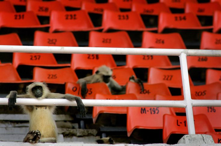 A group of langur monkeys lounge in the spectator stands as they watch a practice session of the England cricket team in Ahmadabad, India, on October 27, 2006.